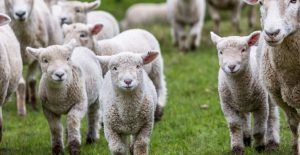 On the Farm – Lambing Live